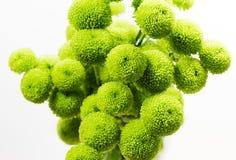Manojo de crisantemos redondos verdes Imagen de archivo libre de regalías