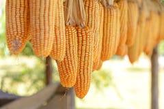 Manojo de ejecución amarilla seca del maíz dulce debajo del tejado de madera de la casa rústica rural de la granja, Imagen de archivo libre de regalías