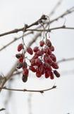 Manojo de escaramujos rojos salvajes Foto de archivo libre de regalías