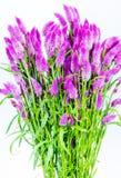 Manojo de flor púrpura del cattail Foto de archivo libre de regalías