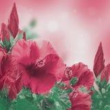 Manojo de flor roja del hibisco Fotos de archivo