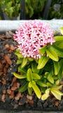 Manojo de flor rosada Imagenes de archivo