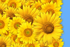 Manojo de flores amarillas Fotos de archivo