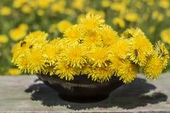 Manojo de flores amarillas hermosas del offici del taraxacum del diente de león Imágenes de archivo libres de regalías