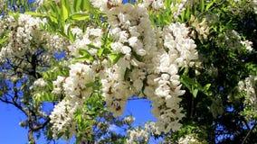 Manojo de flores del acacia metrajes