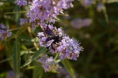 Manojo de flores de la lavanda Flores de la lavanda con una abeja Imagen de archivo libre de regalías