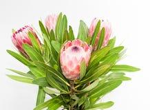 Manojo de flores rojas del protea Foto de archivo