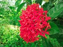 Manojo de flores rojas hermosas de Ixora foto de archivo