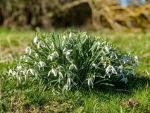 Manojo de flores salvajes en la floración durante luz del sol temprana de la primavera del último invierno, Reino Unido de Snowdr fotografía de archivo