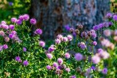 Manojo de flores salvajes de los cardos Fotografía de archivo libre de regalías