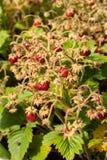 Manojo de fresa salvaje Fotografía de archivo