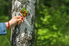 Manojo de fresas maduras a disposición de la muchacha en el fondo del tronco del abedul Concepto de estaciones, ecología, detox,  Imagen de archivo libre de regalías