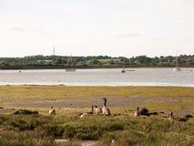 Manojo de gansos canadienses que descansan sobre línea de la orilla imagen de archivo libre de regalías