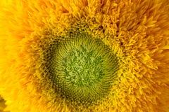 Manojo de girasoles Teddy Bear en un florero de cristal Una planta enana del girasol con las flores dobles de oro amarillas grand Fotos de archivo libres de regalías