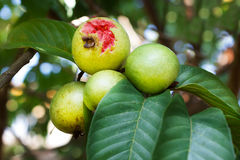 Manojo de guayaba roja en árbol en jardín Imagenes de archivo