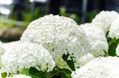 Manojo de hortensia blanca en jardín Fotografía de archivo libre de regalías