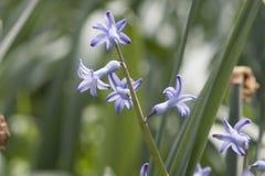 Manojo de jacinto azul Foto de archivo libre de regalías