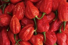 Manojo de jolokia rojo de Buht Fotos de archivo libres de regalías