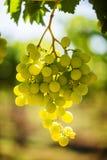 Manojo de la uva blanca en la vid con luz del sol caliente Imagen de archivo