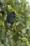 Manojo de la uva del Merlot Imagenes de archivo