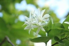 Manojo de las flores blancas en bosque tropical asiático foto de archivo libre de regalías