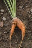 Manojo de las zanahorias Imagenes de archivo