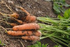 Manojo de las zanahorias Fotografía de archivo libre de regalías