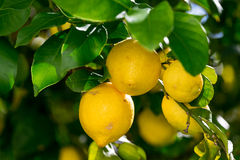 Manojo de limones maduros vibrantes en árbol Imagen de archivo libre de regalías