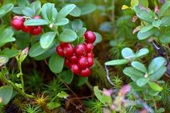 Manojo de lingonberry rojo de las bayas Fotos de archivo libres de regalías