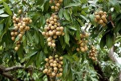 Manojo de longan fresco en las frutas tropicales tailandesas del árbol imágenes de archivo libres de regalías