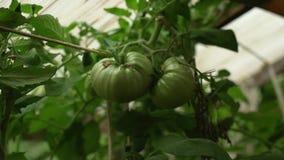 Manojo de los tomates verdes grandes en un arbusto, tomate seleccionado creciente en un invernadero metrajes