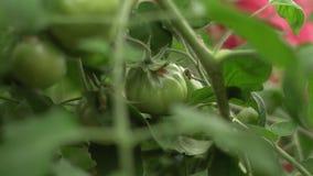 Manojo de los tomates verdes grandes en un arbusto, tomate seleccionado creciente en un invernadero almacen de metraje de vídeo