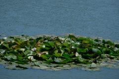 Manojo de loto en un lago Imagen de archivo libre de regalías
