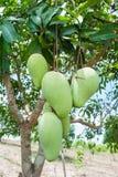 Manojo de mango verde y maduro en árbol foto de archivo libre de regalías