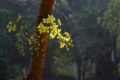 Manojo de oro de la flor de la ducha en tronco Foto de archivo