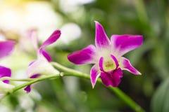 Manojo de orquídea híbrida del Dendrobium rosado de los pétalos debajo del árbol verde de las hojas en fondo borroso foto de archivo