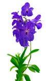 Manojo de orquídeas azules Fotografía de archivo