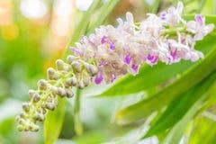 Manojo de orquídeas fragantes, falcata Lindl de Aerides Imagen de archivo libre de regalías