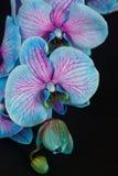 Manojo de orquídeas violetas Fotografía de archivo libre de regalías