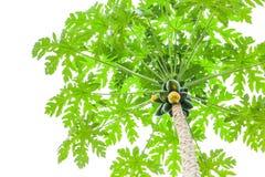Manojo de papayas que cuelgan del árbol fotografía de archivo libre de regalías