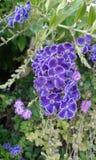Manojo de pequeñas flores púrpuras Fotos de archivo libres de regalías