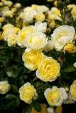 Manojo de pequeñas rosas amarillo-blancas en la rosaleda del parque de Retiro Foto de archivo