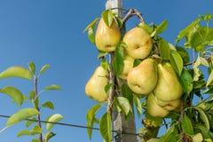 Manojo de peras en un árbol varietal con una liga atada al enrejado Jardín industrial de la granja imagen de archivo