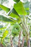 Manojo de plátano Fotografía de archivo