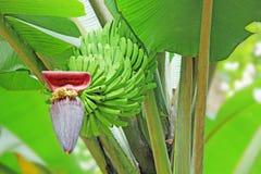Manojo de plátano inmaduro Foto de archivo libre de regalías