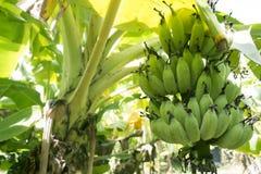 Manojo de plátanos en árbol imagen de archivo