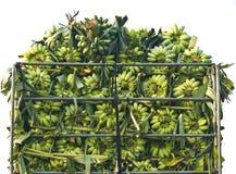 Manojo de plátanos inmaduros Fotografía de archivo
