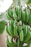 Manojo de plátanos verdes en árbol Imagen de archivo libre de regalías