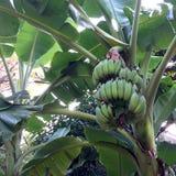 Manojo de plátanos verdes inmaduros Imagen de archivo libre de regalías