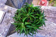 Manojo de plantas del cactus de la estrella Opinión de alto ángulo fotos de archivo